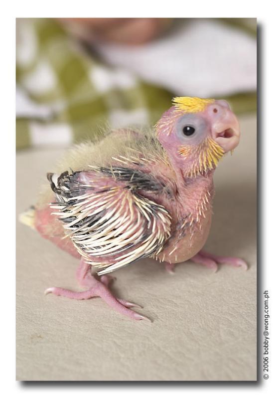 Cute baby cockatiel - photo#5