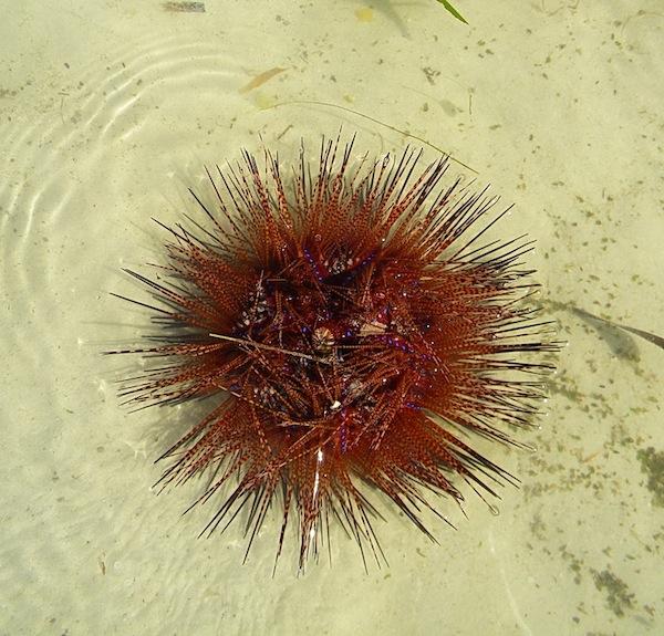 urchin1re.jpg