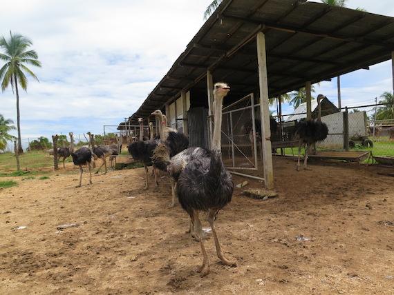 Ostrich and Crocodile Farm (1)