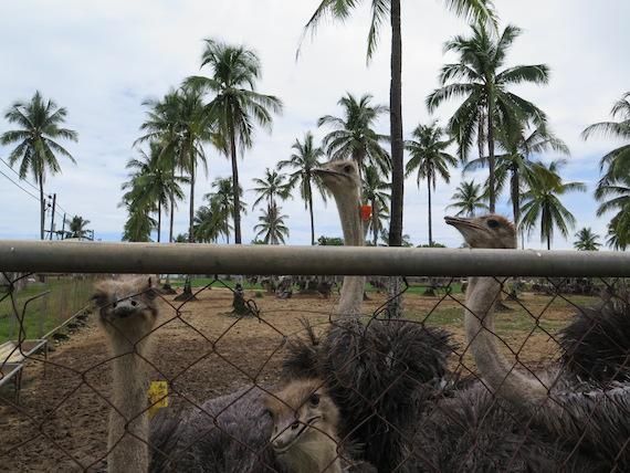 Ostrich and Crocodile Farm (11)