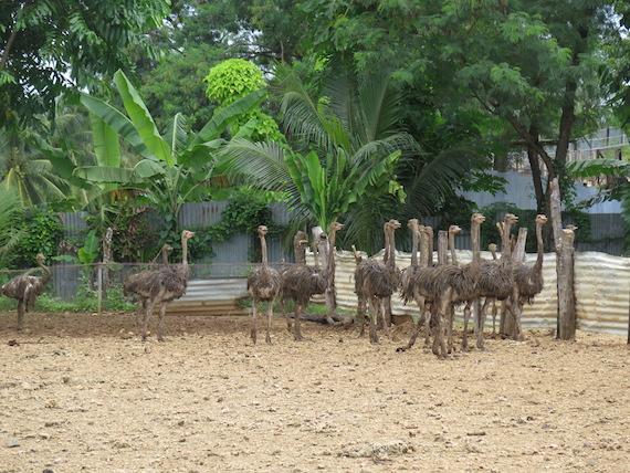 Ostrich and Crocodile Farm (12)