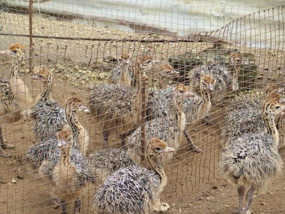 Ostrich and Crocodile Farm (13)